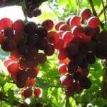 Продавам грозде - винени сортове: - Мускат отонел, Каберне совиньон, Памид